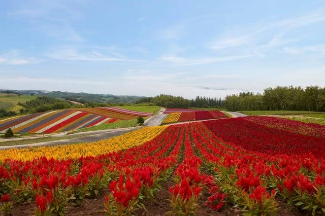 北海道夏季更以各色繽紛的鮮花聞名。(業者提供)