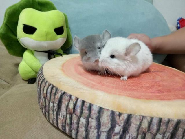 外型酷似兔子與松鼠的合體,體型小又胖,因其蓬鬆的身形加上豎直的耳朵,所以在台灣有「龍貓」的稱號。(龍貓森林粉絲專頁提供)