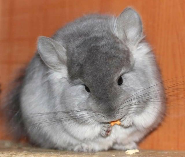 龍貓鼠是草食性動物,牠越簡單養會越健康。(龍貓森林粉絲專頁提供)