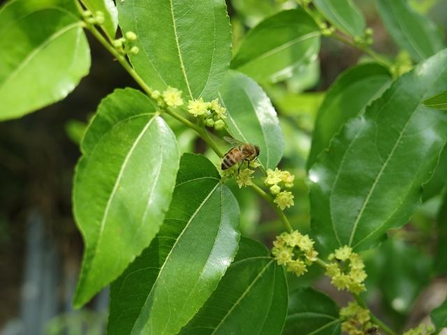 小小的棗花像極了小小的星星,隨棗枝的形狀組成星座。一株棗樹就是一個群星閃爍的綠色天空,其中每一顆星都有一個玲瓏的小花盤,裡面亮品晶地盛著香甜純淨的蜜。(Pixabay)