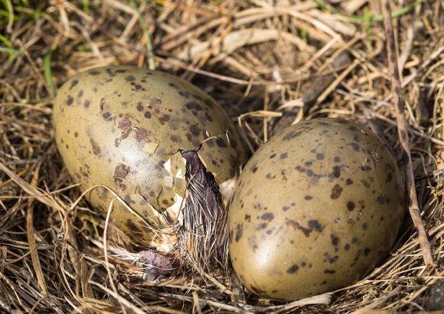孵化器中的蛋能感應到旁邊胚胎的振動並作出反應,和他們直接聽到一樣。(ShutterStock)