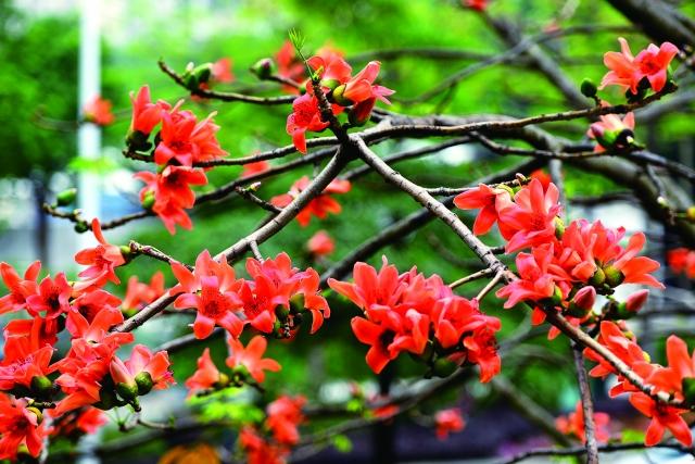 鮮橙紅色的木棉花在枝頭怒放時,引來白頭翁和一些小鳥飛到枝頭上歇腳,或啄花蕊,或在樹枝間穿梭追逐。(123RF)