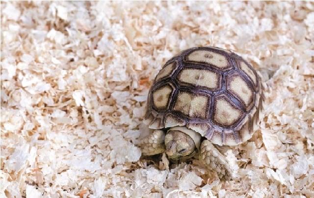 陸龜,跟一般我們看到的巴西烏龜、台灣斑龜不一樣,牠的生活環境是乾燥的,不需要生活在水裡。(123RF)