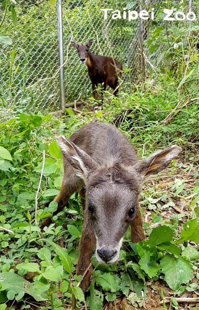 長鬃山羊寶寶「長稻」四處探索,媽媽「長茗」不放心緊緊守護。