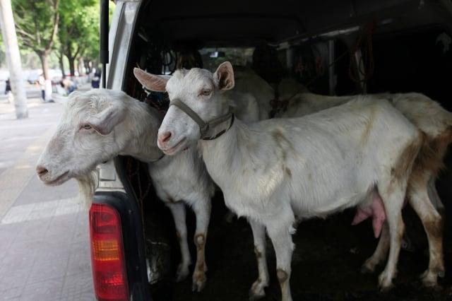 中國羊奶的價格暴跌,部分地區奶價甚至接近了養殖成本線,有養殖戶只能忍痛把奶羊當肉羊賣。(大紀元資料室)
