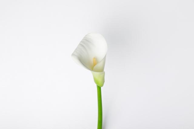 盛開的海芋形如倒立的馬蹄,又如蓮花般生長在水中,而有「馬蹄蓮」的別稱,白色海芋的花語為純淨的愛,深情代表真誠簡單純潔高貴。(123RF)
