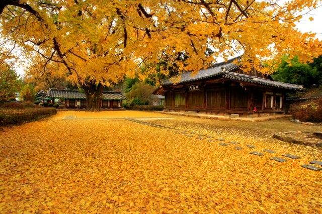 全州鄉校銀杏秋景。(韓國觀光公社提供)