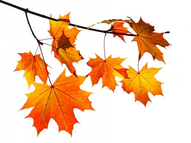 楓紅下降入秋網。(123RF)