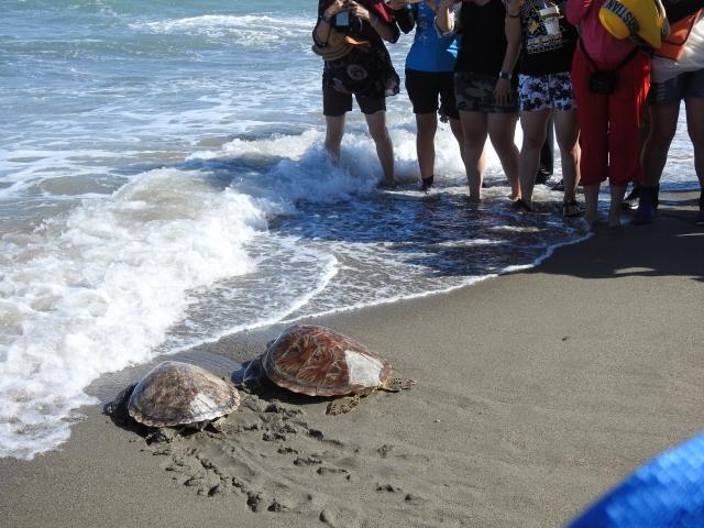 台東縣政府與海巡署東部分署在富山漁業保護區,一起將海龜野放回海洋。