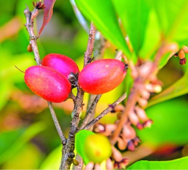 「 神祕果 」這來自西非的小小果實,完全顛覆人們對酸的想像。(Shutterstock)