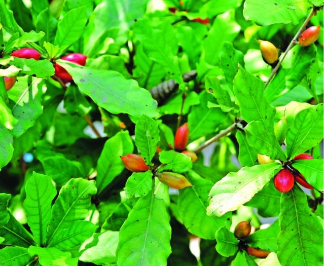 未熟成的神祕果實是青綠色,成熟後轉為紅色。(Shutterstock)
