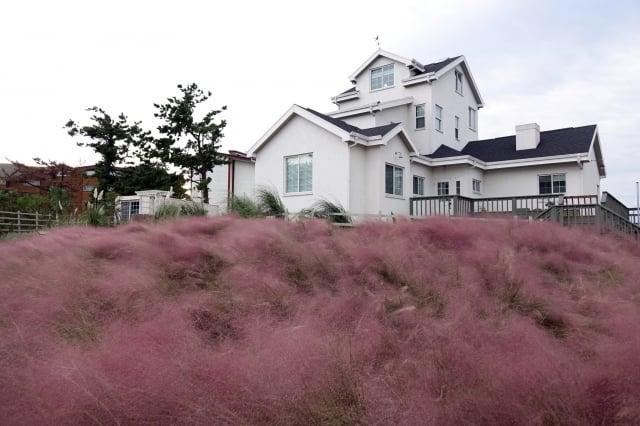濟州粉紅亂子草。(濟州觀光公社提供)