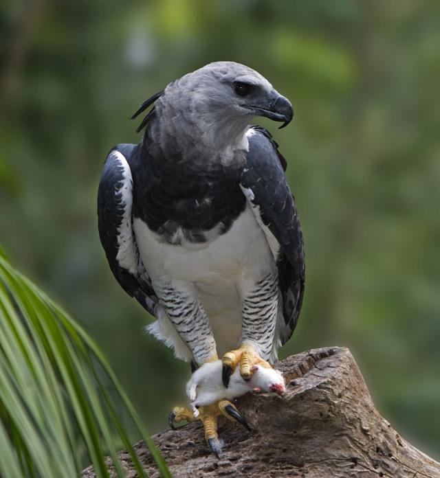 鳥界男神 角鵰(http://www.birdphotos.com提供)