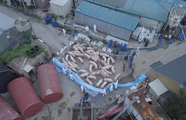 非洲豬瘟疫情失控下的中國養豬戶卻是人人叫慘,雛鷹農牧15日最後一天交易後,退出上市行列。( Getty Images)