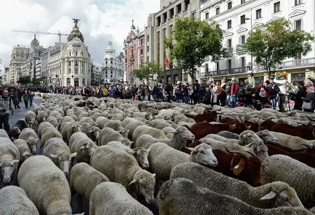 10月20日,超過2千隻綿羊穿越西班牙馬德里的市區,形成綿羊逛街的奇景。(OSCAR DEL POZO/AFP via Getty Images)