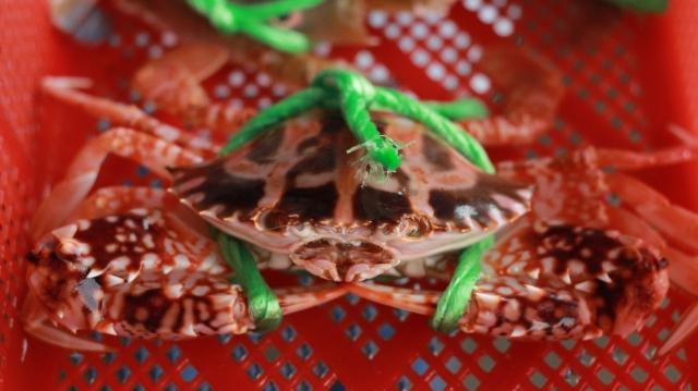 花蟹,蟹殼帶有橘紅色斑紋。
