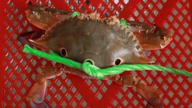 三點蟹,蟹殼上有3個明顯的暗紫色紅點。