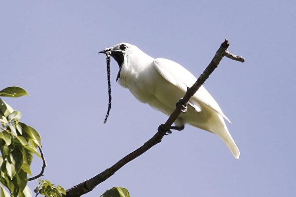 巴西北部的白鐘傘鳥是世界上音量最高的鳥類,其公鳥的求偶叫聲高達125.4分貝。(Anselmo d'AFFONSECA / AFP)