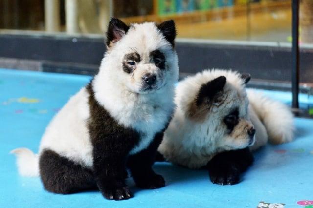 四川成都的「糖果星球」咖啡館將小狗染成貓熊。(Getty Images)