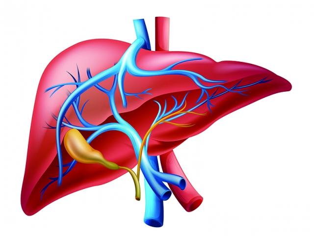 肝與膽經互為表裡緊密的聯繫著,膽位於肝旁,所以說肝膽相照,披肝瀝膽。(123RF)