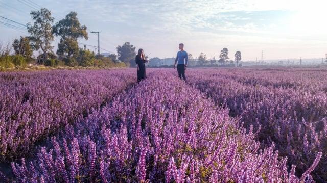桃園仙草花節紫在楊梅--仙草花情侶版。(桃園農業局提供)