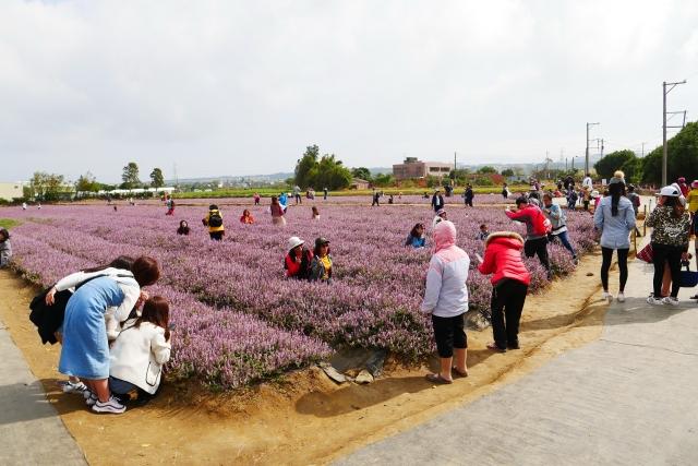 桃園仙草花節紫在楊梅--平日亦超過3萬人到場賞花。