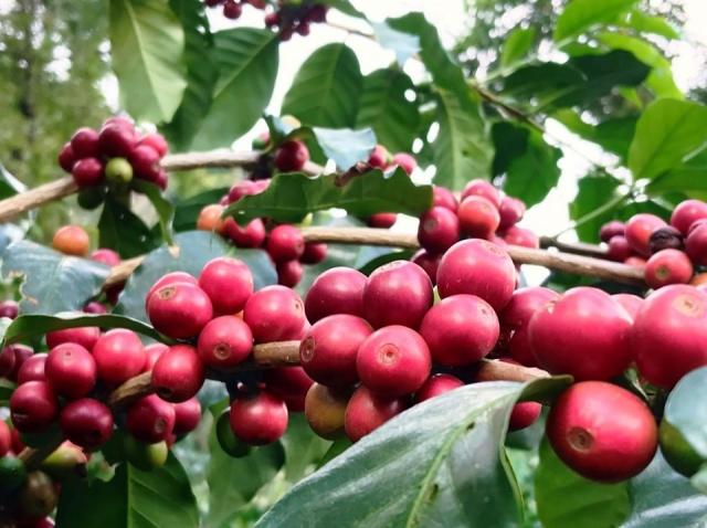 一顆顆紅通通的咖啡果實等著採收。(業者提供)