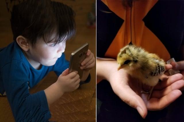 小朋友玩手機和養小雞。(示意圖,與本文無關)(Andi_Graf, Pixabay/ D-dayMarine, en.wikipedia)