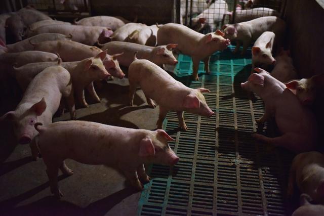25日將進行「模擬爆發非洲豬瘟案例」全國演習,會抽取全台不同縣市3豬場作為案例場。圖為示意圖。(GREG BAKER/AFP/Getty Images)