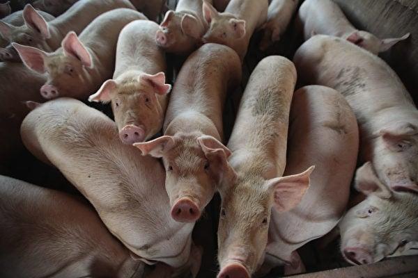 中共官媒稱,有「炒豬團」向其他人飼養的豬群投放非洲豬瘟病毒,藉此牟取暴利。分析稱,這是中共在推卸責任。(Scott Olson/AFP)