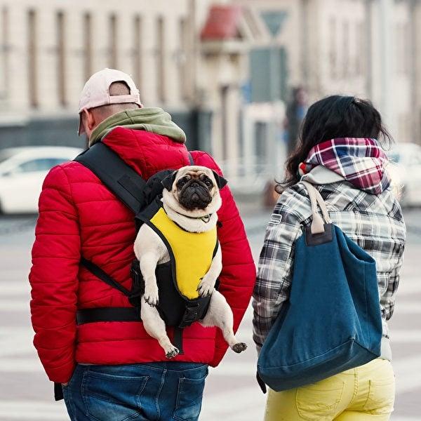 背帶式類型的狗背包,造型類似常見的嬰兒背帶,便於狗兒四處張望。(shutterstock)