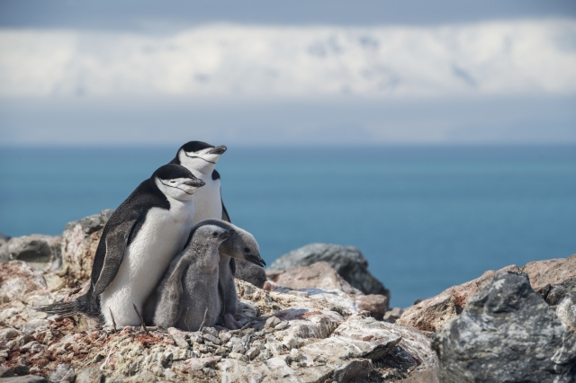 南極常見的頰帶企鵝,調查發現部分族群比50年前減少77%。(綠色和平提供)