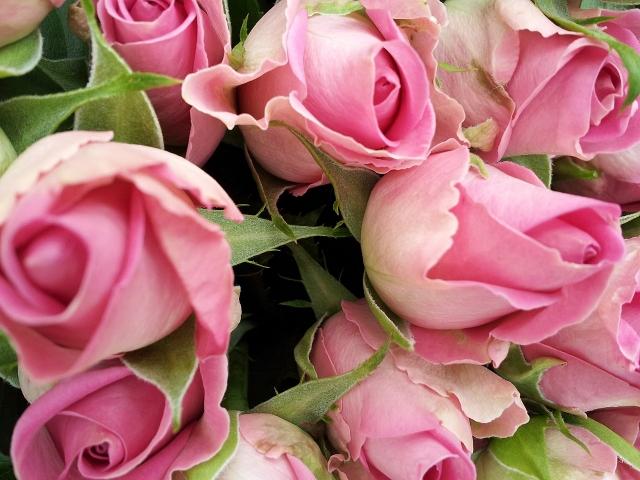 玫瑰花。(Darvin.wilson,Wikimedia commons)