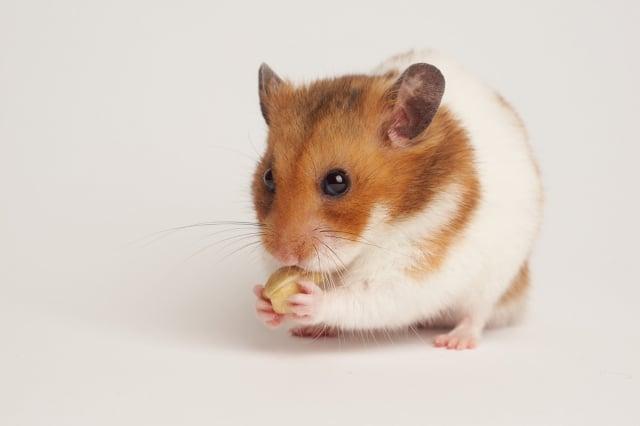 倉鼠每天需要的活動量大,所以要替牠們準備適合的運動器材。(shutterstock)