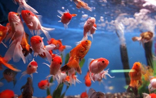 飼養魚類需要一些化學知識,適合對科學有興趣的孩子。(Photo by Justin Sullivan/Getty Images)