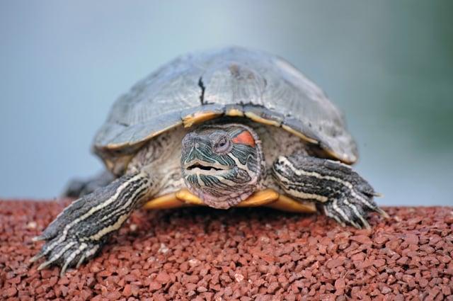 烏龜的壽命很長,能活超過50年,必須確定能長時間照顧。(Getty Images)