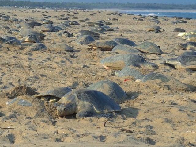 今年3月底有32萬隻橄蠵龜在印度東部奧里薩省的Rushikulya海灘進行大規模築巢產卵,壯觀場面綿延6公里。(IG@bipro_seas 授權提供)