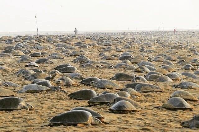 印度野生動物研究所(Wildlife Institute of India)研究員潘達維(Bivash Pandav)甚至斷言,封城對海龜大規模的築巢行動完全沒有影響。