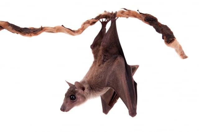 蝙蝠具有百毒不侵的體質,甚至還能夠和病毒們共存共生。答案就在於牠們每天外出飛行覓食時,全身細胞都會啟動有氧代謝,將軀體體溫提升到40℃左右。(123RF)