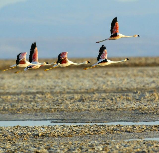 阿塔卡馬沙漠上的紅鶴。(GettyImages)