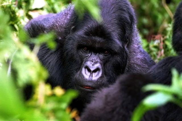 盧安達提供了近距離觀察高山大猩猩的機會。(GettyImages)