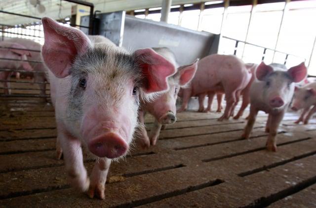 有專業人士指出,非洲豬瘟一直在中國流行,未得到有效控制。示意圖。(Getty Images)