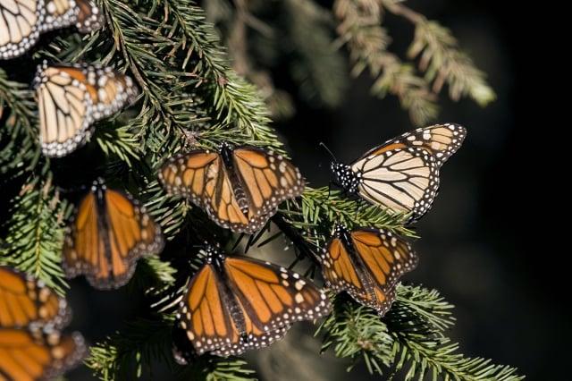 2008年12月10日,在墨西哥米卻肯州(Michoacán)過冬的帝王斑蝶。(MARIO VAZQUEZ/AFP via Getty Images)