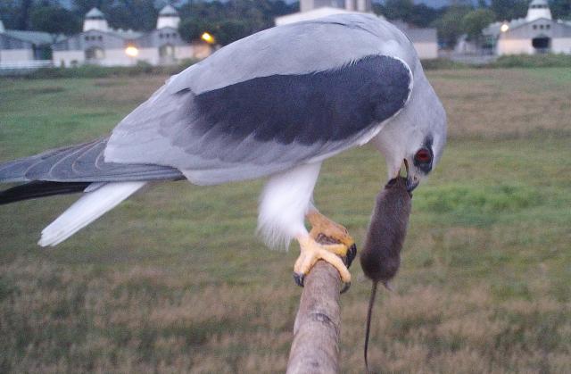 屏科大鳥類生態研究室推廣猛禽無毒生活圈,在田野中豎起「老鷹棲架」,提供黑翅鳶棲息及覓食。圖為黑翅鳶吃老鼠。