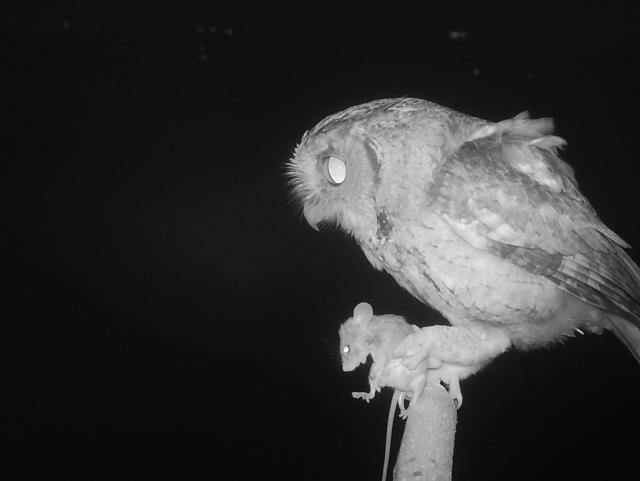 屏科大鳥類生態研究室推廣猛禽無毒生活圈,在田野中豎起「老鷹棲架」,提供黑翅鳶棲息及覓食。圖為領角鴞抓鼠。