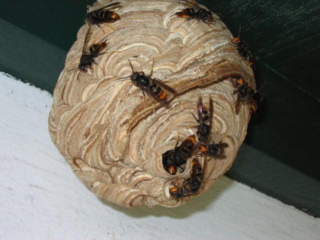 黃腳虎頭蜂築的巢。(維基百科)
