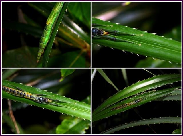 大頭竹節蟲演化出3大自衛方式。(鄭清海)