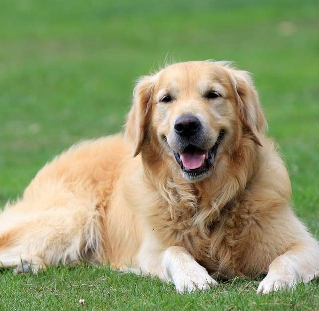 金毛犬。(Pikrepo)