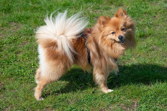 一隻博美犬。(Pikist)