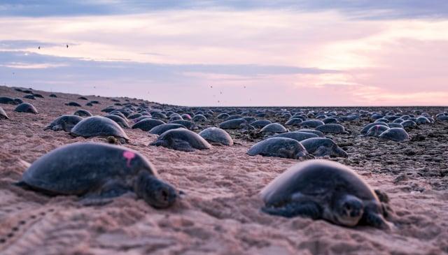 這些是已經上岸的綠蠵龜。(Great Barrier Reef Foundation and Queensland Government)